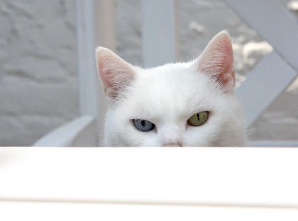 Catootje cat white odd-eyed