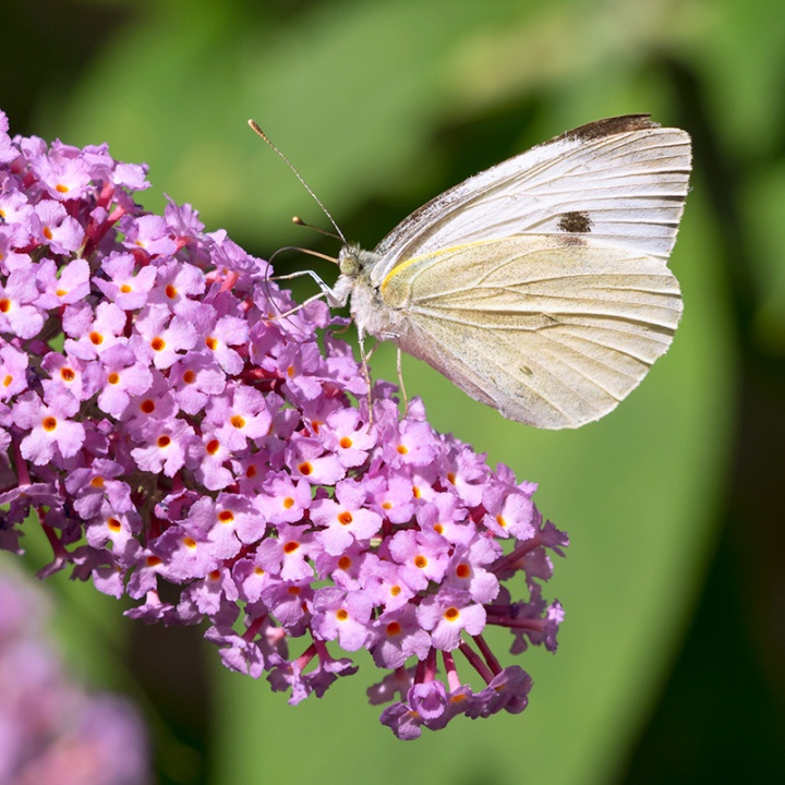 cato-cabbage-white-butterfly