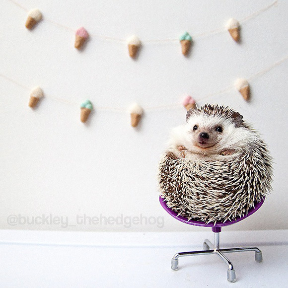 hedgehog-instagram-3